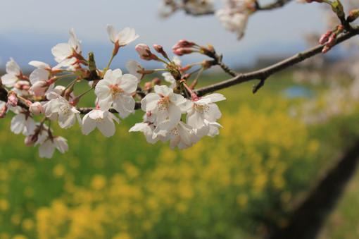 Sakura11